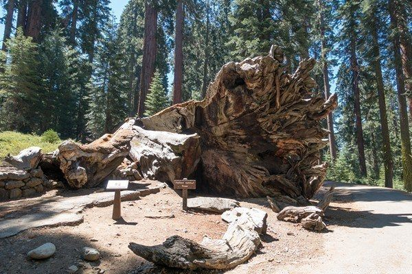 Wawona Tunnel Tree | Just One Cookbook