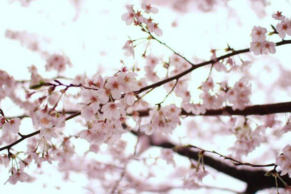 Hanami | Easy Japanese Recipes at JustOneCookbook.com