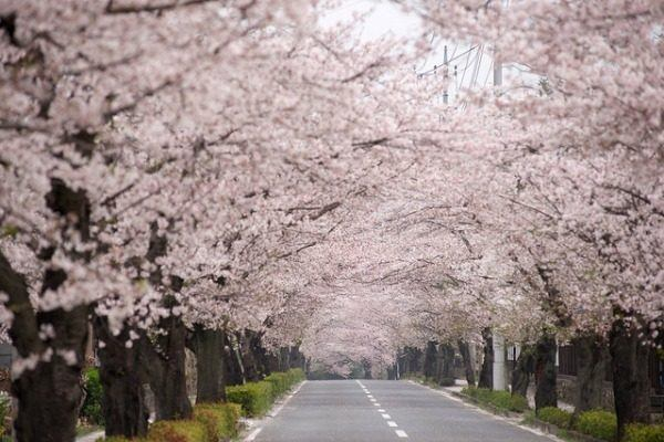 Cherry blossom tree on the street.