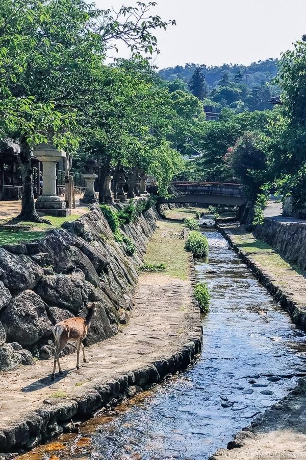 deer along creek on Miyajima | JustOneCookbook.com