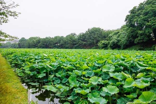 lotus plants near Fukuoka Castle Shiomi tower - Fukuoka Travel Guide | justonecookbook.com