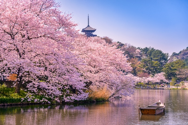 sakura viewing Japan