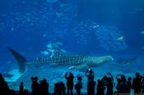 Churaumi Aquarium 沖縄美ら海水族館