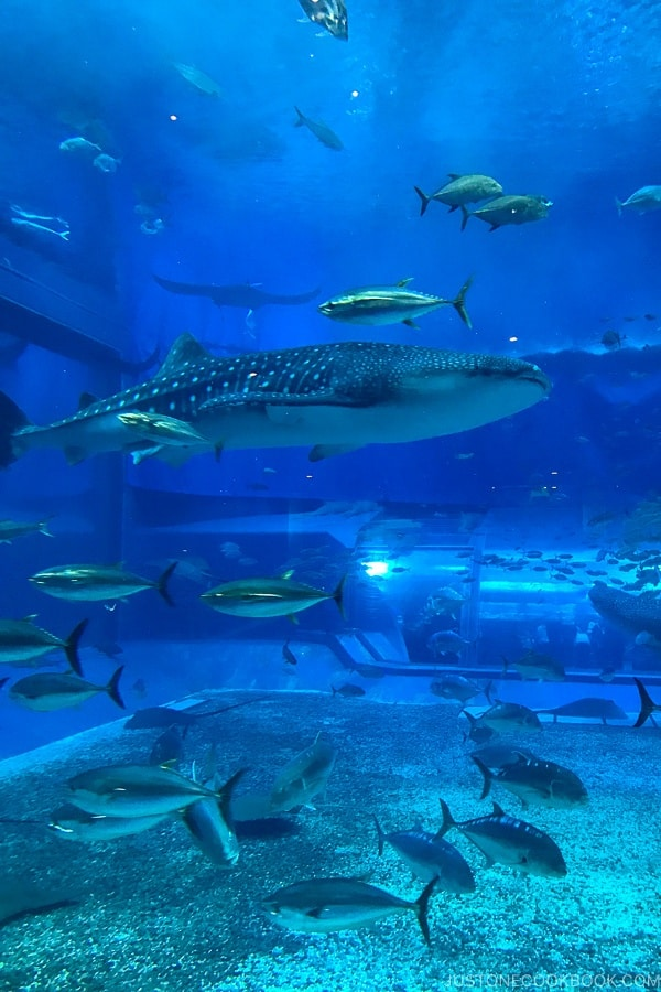 Kuroshio Tank at Churaumi Aquarium with whale shark | justonecookbook.com