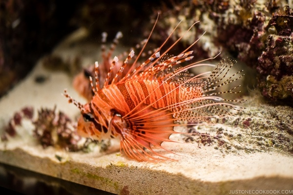 lion fish inside fish tank at Churaumi aquarium at Ocean Expo Park Okinawa | justonecookbook.com
