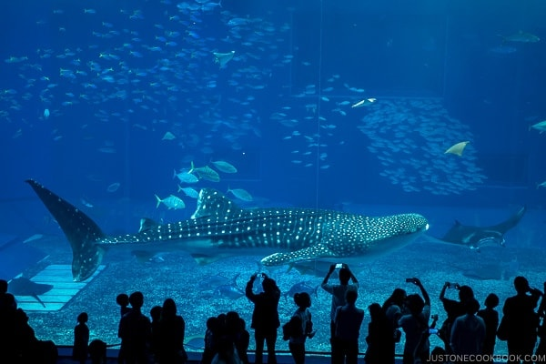 whale shark swimming across the tank at Churaumi aquarium at Ocean Expo Park Okinawa | justonecookbook.com