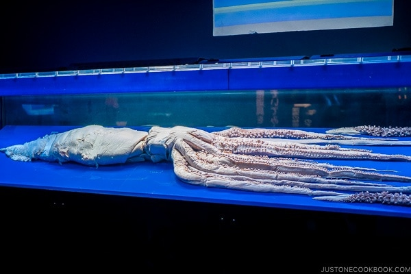 giant squid carcass at Churaumi aquarium at Ocean Expo Park Okinawa | justonecookbook.com