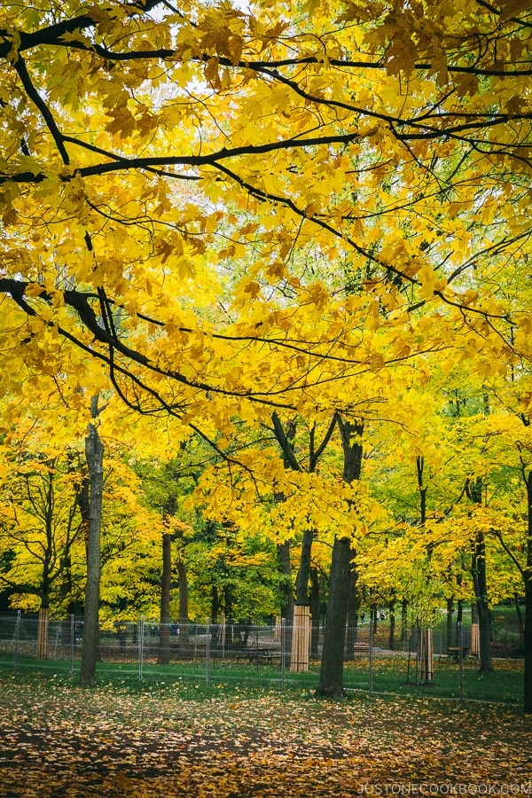 trees changing color at Mount Royal Park - Montreal Travel Guide | www.justonecookbook.com