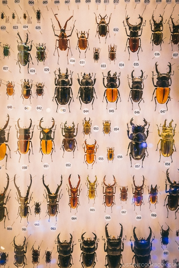 Japanese beetles collection - Tokyo National Museum of Nature and Science Guide | www.justonecookbook.com