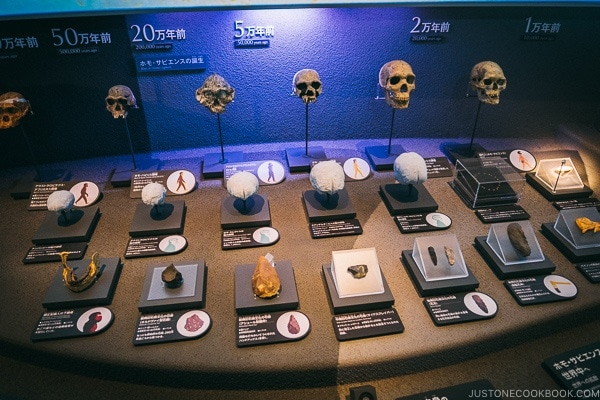 evolution of human skull - Tokyo National Museum of Nature and Science Guide | www.justonecookbook.com