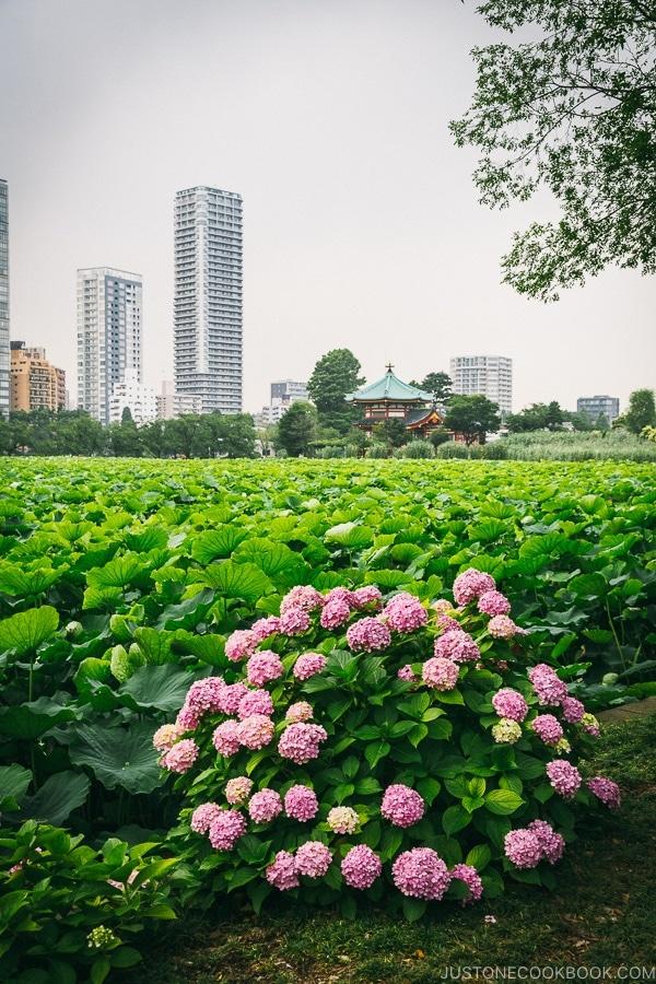 Shinobazu Pond - Tokyo Ueno Travel Guide | www.justonecookbook.com