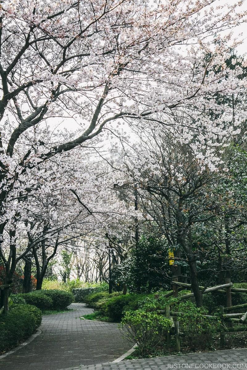 cherry blossom in Yokohama | www.justonecookbook.com