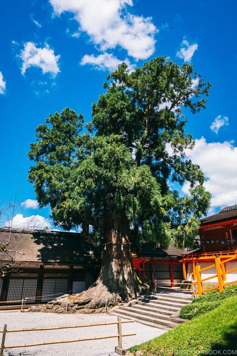 Shato-no-Ohsugi (giant cedar tree) - Nara Guide: Kasuga-taisha | www.justonecookbook.com