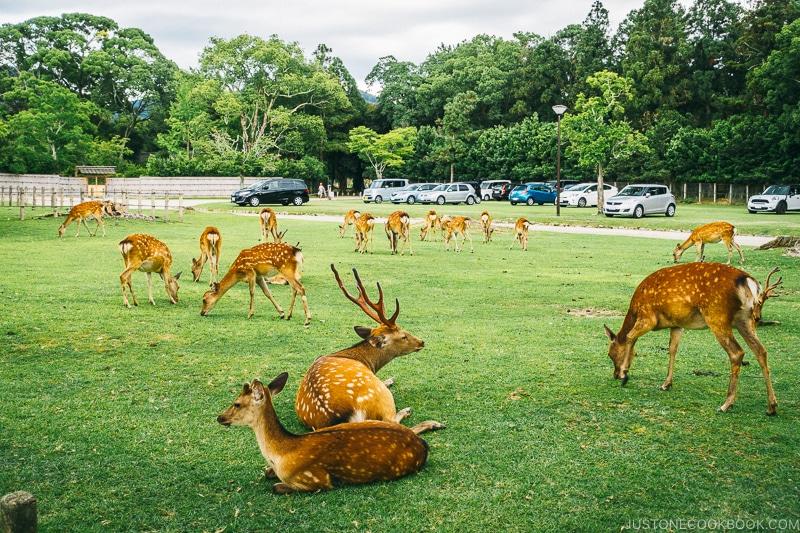 deer inside Nara Park - Nara Guide: Things to do in Nara | www.justonecookbook.com