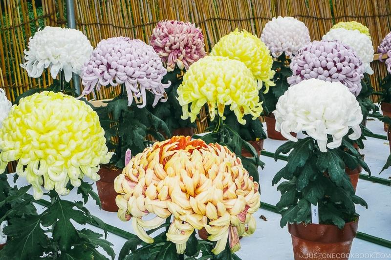 Chrysanthemum on display - Osaka Guide: Osaka Castle| www.justonecookbook.com