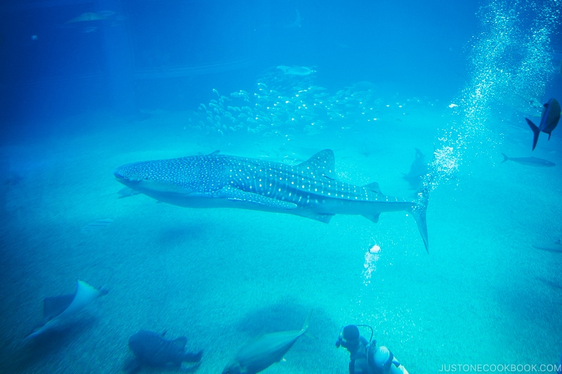whale shark inside Pacific Ocean tank at Kaiyukan - Osaka Guide: Tempozan Harbor Village | www.justonecookbook.com