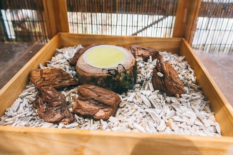 Japanese rhinoceros beetles in a case