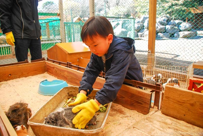 Boy playing with guinea pig - Things to do around Lake Kawaguchi   www.justonecookbook.com