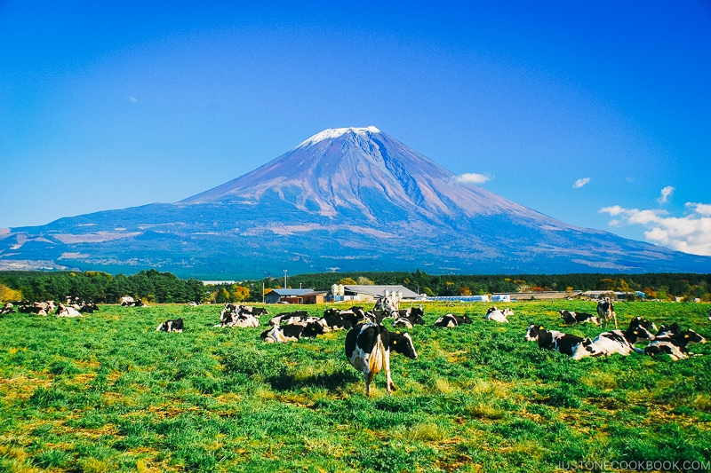 view of Mt. Fuji with cows in pasture pasture - Things to do around Lake Kawaguchi   www.justonecookbook.com