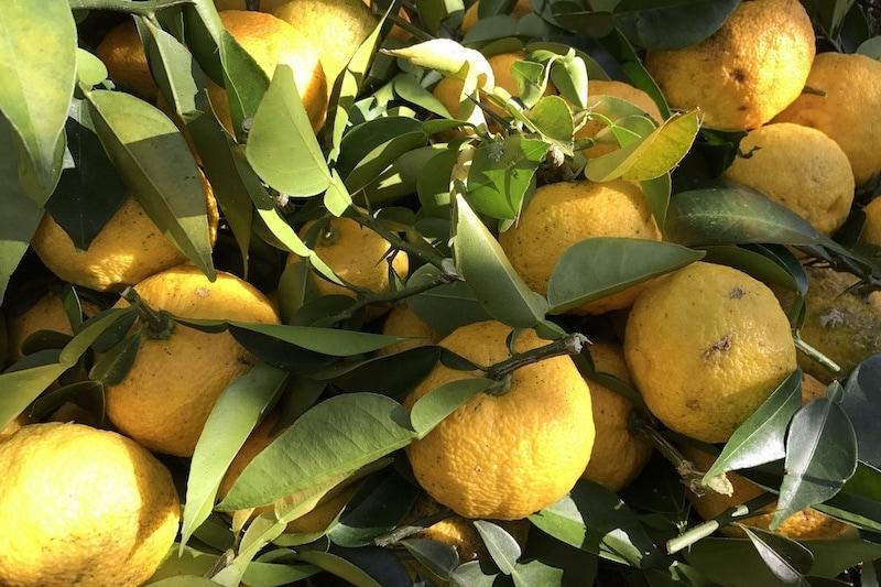 yuzu fruits on the tree