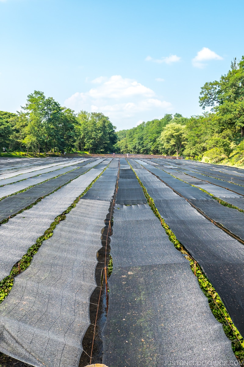 rows of shades covering wasabi plants
