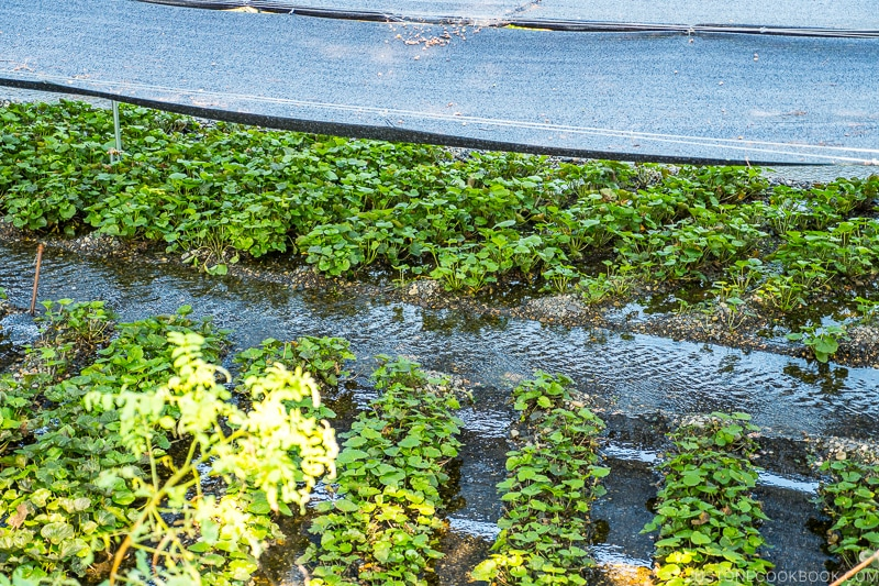 wasabi plants under covered shade
