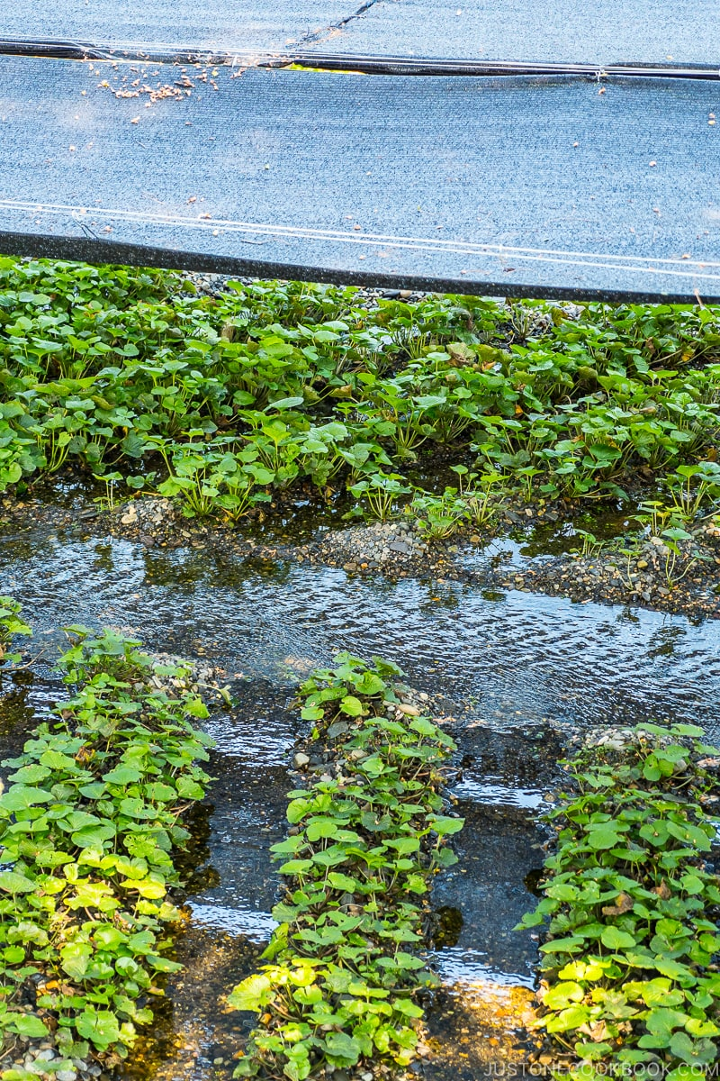 wasabi plants under covered shade with water flowing in between