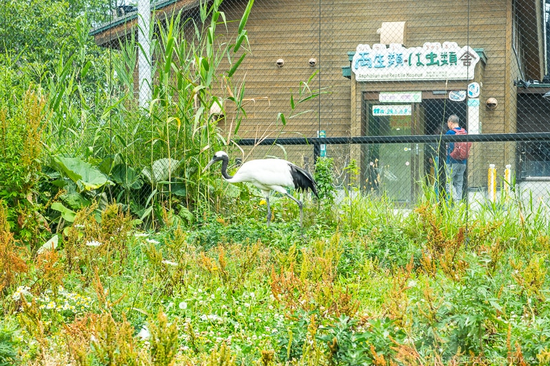 Japanese crane in a enclosure with plants