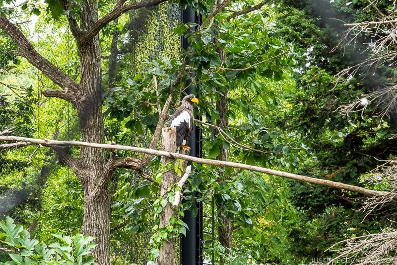 =Steller's Sea Eagle on a tree branch