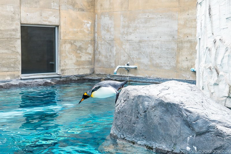 penguins diving off a rock