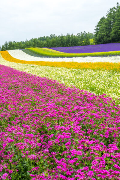 flower fields at Farm Tomita