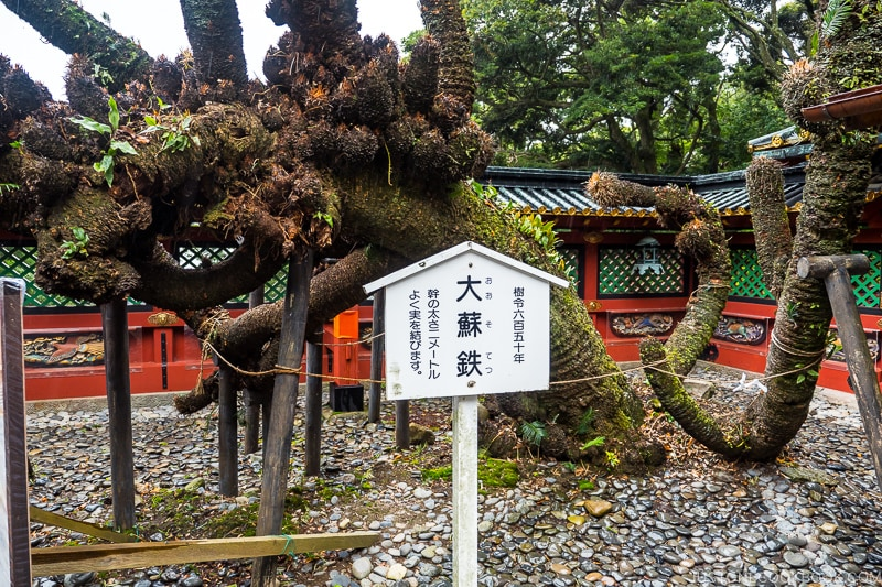 650 year old tree